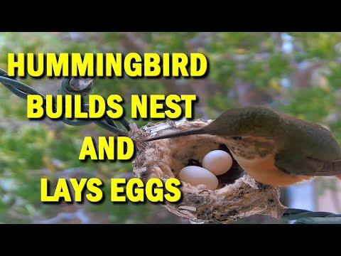 Hummingbird Builds Nest and Lays Two Eggs #Video