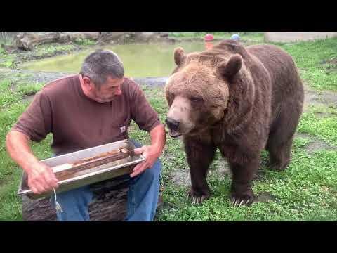 Big Brown Bear Loves Honey! #Video