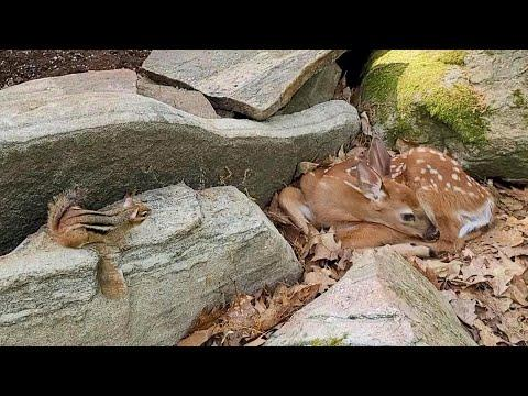 Baby Deer Alone Without Mother Meets Chipmunk #Video