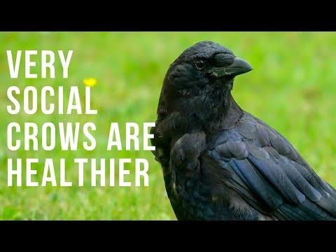 Very Social Crows Are Healthier Video
