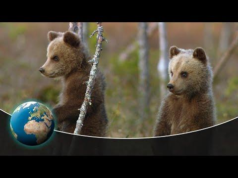 Bear Essentials Video: Three young bears find their way in the world