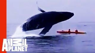 In The Splash Zone: Kayakers Get Way Too Close To A Humpback Whale! | Weird, True & Freaky