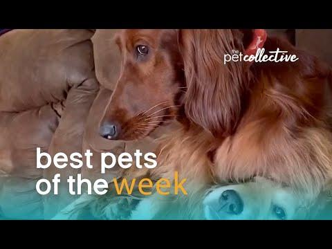 Is This Dog A Bully? Best Pets of the Week Video