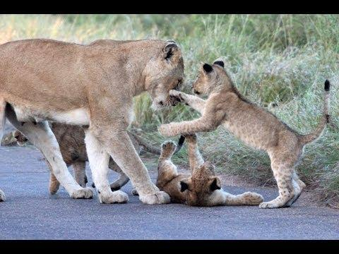 Lion Cub Madness - The Cutest Sighting Ever! - Latest Wildlife Sightings