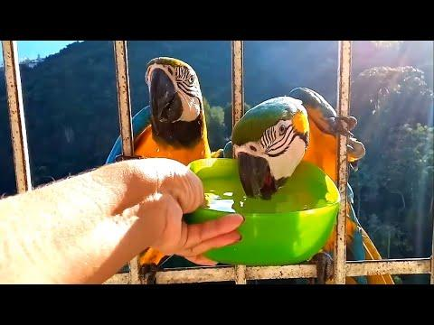 Thirsty Wild Blue Gold Macaws Drinking Water Video