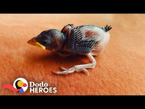 1-Day-Old Sparrow Makes His Rescuer Fill Her House With Baby Birds Video