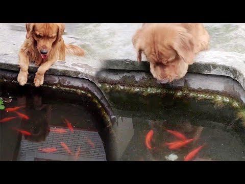 Sweet Golden Retriever Loves His Fish Friends Video