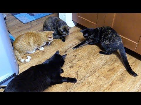 Cats Protect Their Home from Intruders!