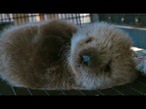 Orphan Sea Otter - Super Cute Animals