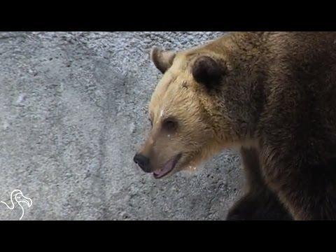 Hibernating Bears Wake Up Early To Enjoy Snow