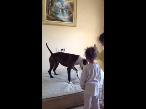 Dog Learns How To Jump On Mattress