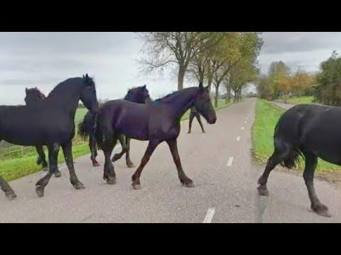 Bringing horses in from the pasture. Friesian Horses.