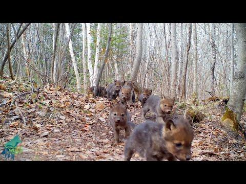 Large litter of wolf pups at den in northern Minnesota #Video