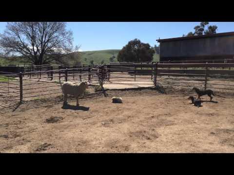 Pekingese Herding Sheep