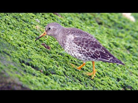 Purple Sandpiper 4K Video