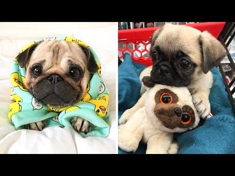 Funniest and Cutest Pug Dog Videos Compilation - Try Not To Laugh Watching Funny Pug Videos