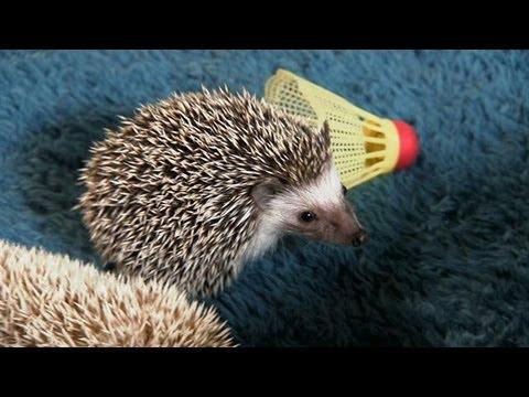 Hedgehogs Go Tubing! | Too Cute!
