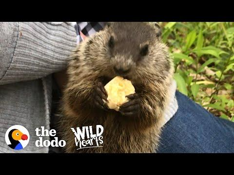 Wild Groundhog Won't Let Woman Go Home Without Her. Video.