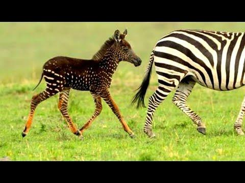 Baby Zebra Born With Spots. Your Daily Dose Of Internet