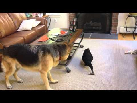 German Shepherd Plays Around With Duck