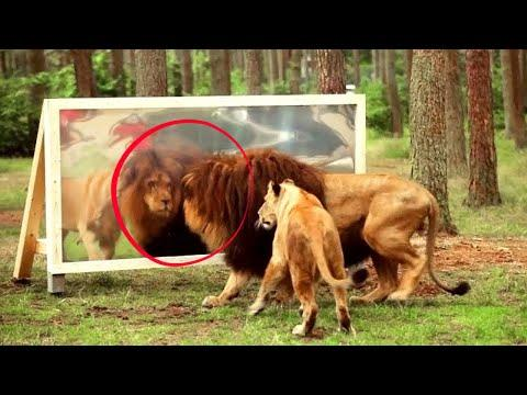 20 Hilarious Reactions of Animals Looking in the Mirror. Video.