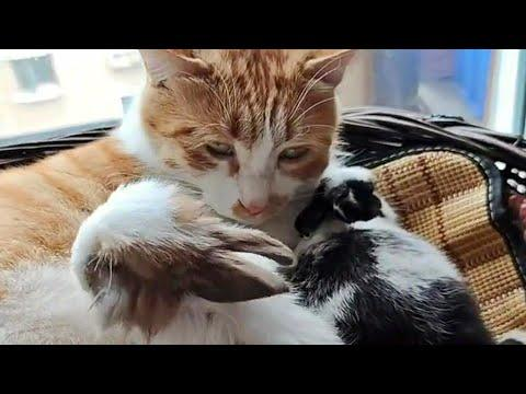 Gentle Cat Loves His Bunny Friends Video