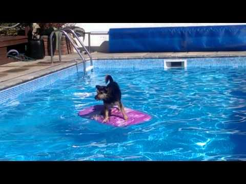 Arthur The Dog Surfing Across A Swimming Pool