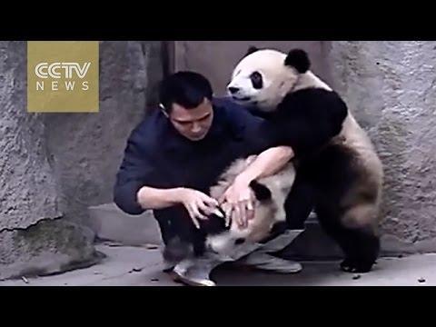 Panda Pandemonium