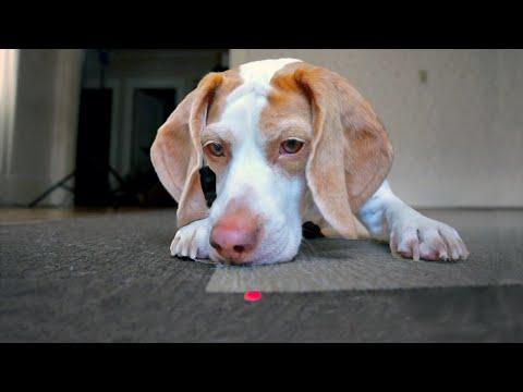 Dog Chases Laser, Finds Pot Of Treats: Cute Dog Maymo