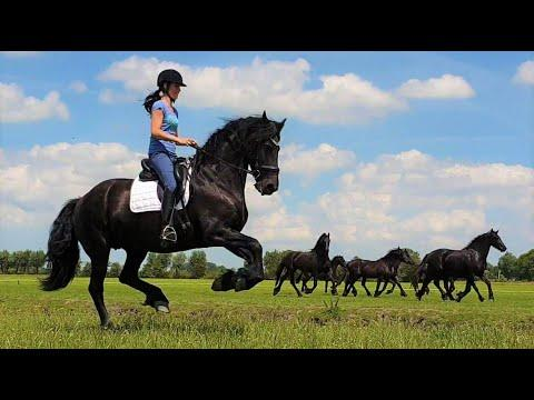 Having fun with Uniek and the young Friesian horses