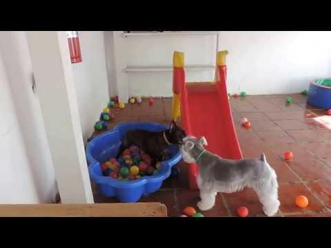 French Bulldog Goes Crazy In Pools Filled With Balls