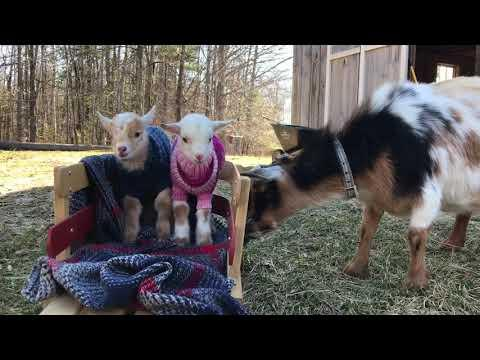 Protective New Mama Goat
