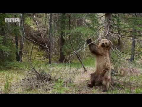 Bears Dancing To Jungle Boogie