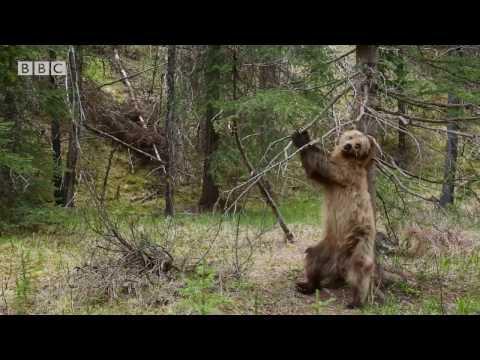 Bears Dancing To Jungle Boogie