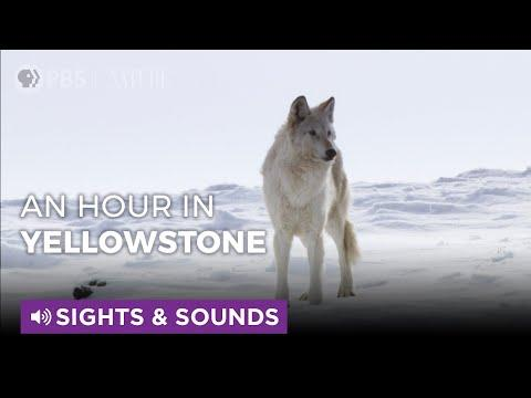Spend An Hour in Snowy Yellowstone | Sights & Sounds | PBS NATURE