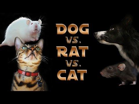 Dog Vs. Rat Vs. Cat: A Trick Contest