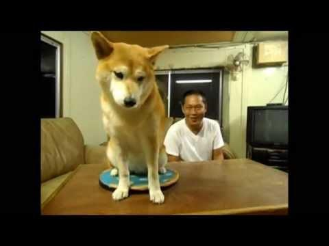 How One Dog In Japan Deals With His Irritating Human - Hilarious!