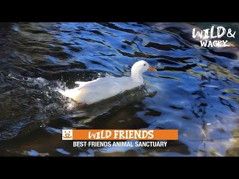 This Duck Loves to Play Games Video! | Wild & Wacky at Best Friends Animal Sanctuary