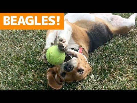Cutest Beagle Compilation 2019 | Best Funny Beagle Videos Ever