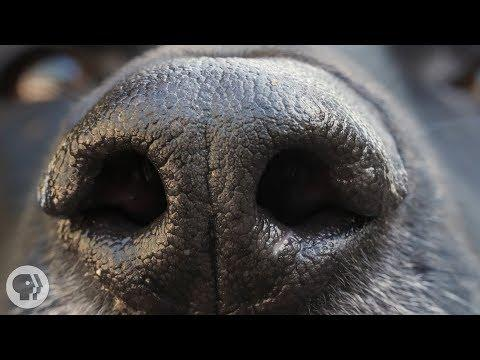 How Your Dog's Nose Knows So Much | Deep Look
