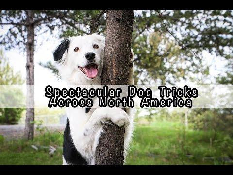 Hero,The Super Collie - Spectacular Dog Tricks Across North America!