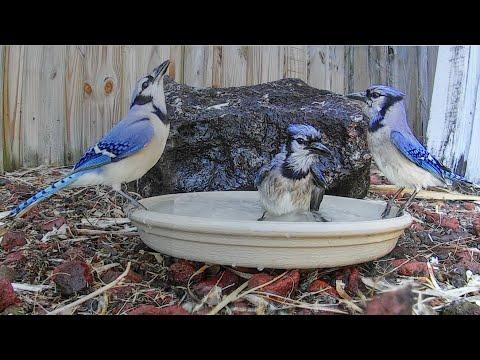 Blue Jay Bird Bath Joy - Closeup
