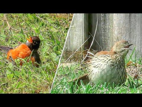 Bird Sunbathing Behavior Video