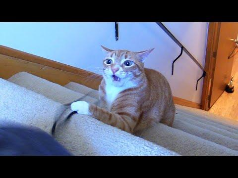 Crazy Cat Wants to Eat My Shorts! - Cole and Marmalade Video
