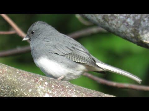 Dark Eyed Junco and Deep Forest Baby Crow Calls
