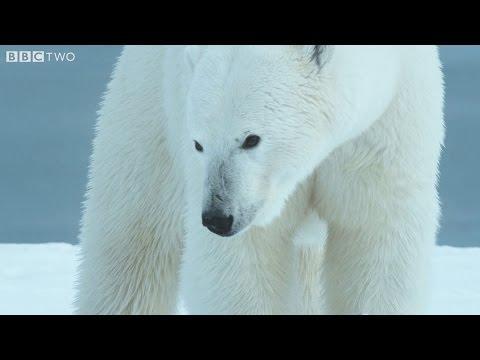 Perplexed Polar Bears On Thin Ice - Alaska: Earth's Frozen Kingdom