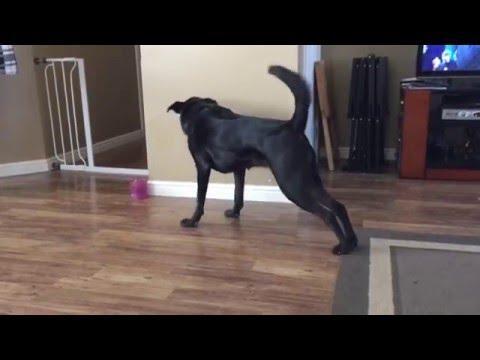Yoga Dog Can't Reach Toy
