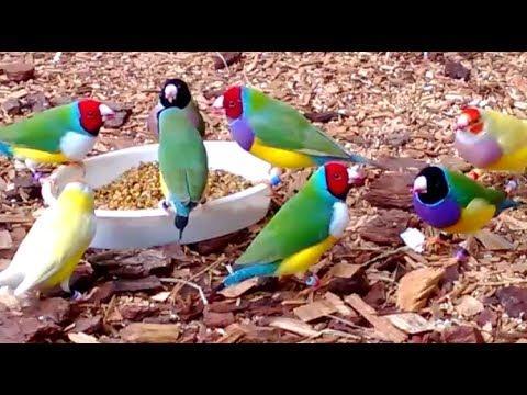 Stunning Lady Gouldian Finches Feeding
