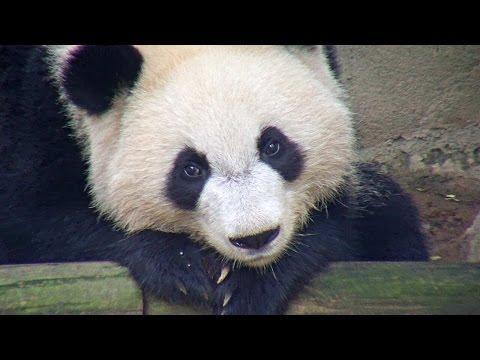Adorable Panda Cam Highlights