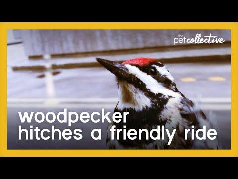 Woodpecker Hitches a Ride Video
